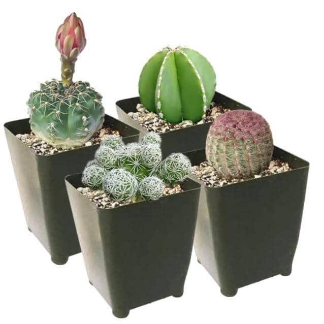 4عدد کاکتوس در گلدان