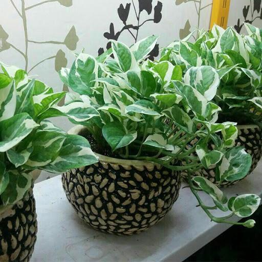 گیاه پیتوس داخل گلدان