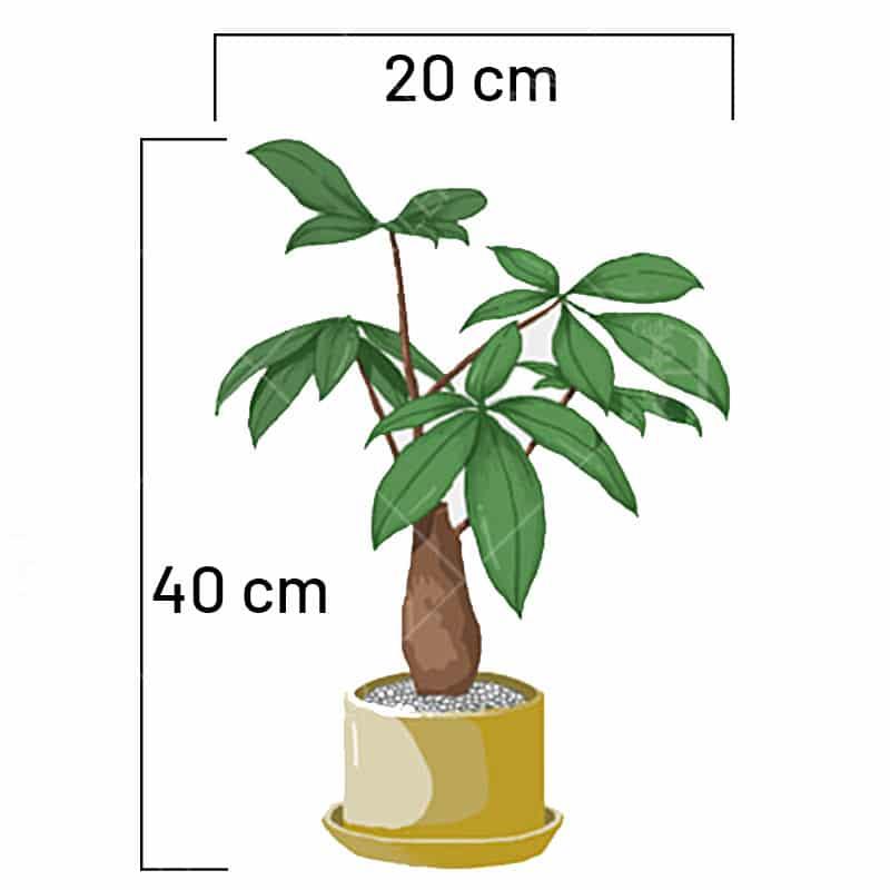 ابعاد-گیاه-پاچیرا-گل-هلند