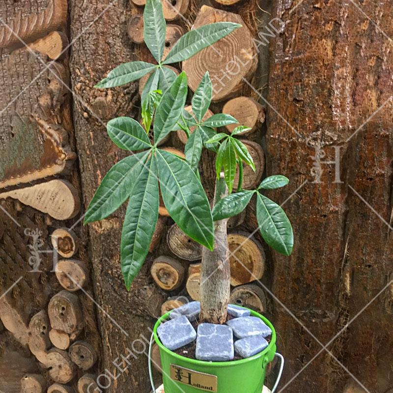 پاچیرا-یا-درخت-پول-گل-هلند-2
