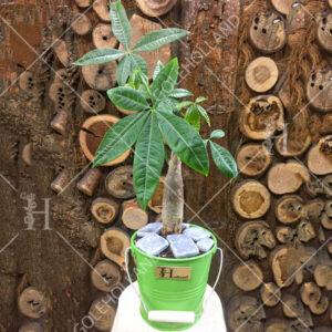 پاچیرا-یا-درخت-پول-گل-هلند