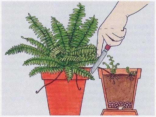 تکثیر گیاه سرخس