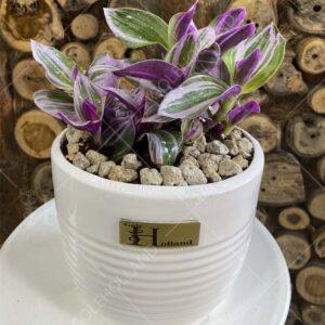 گیاه-زبرینا-گلدانی-(صورتی)-گل-هلند-01