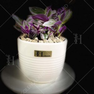گیاه-زبرینا-گلدانی-(صورتی)-گل-هلند-02
