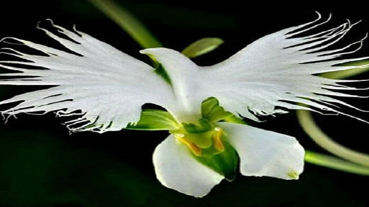 گل مرغ ماهیخوار سفید رنگ