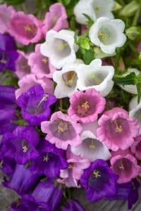 گل-استکانی