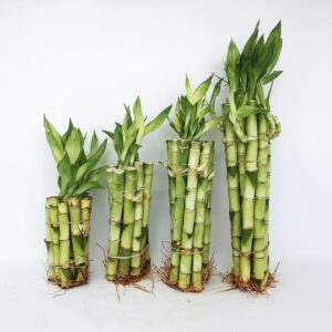 گیاهان-بامبو-با-ریشه