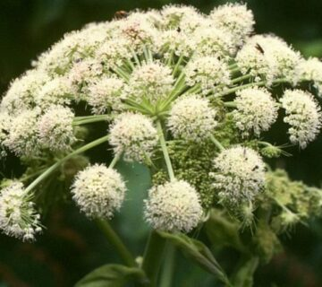 Angelica_sylvestris